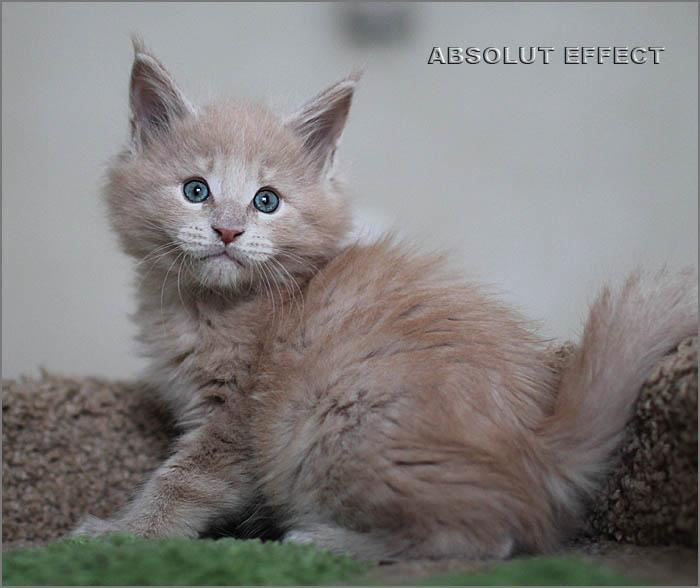 Котик мейн кун Корсар питомника Absolut Effect