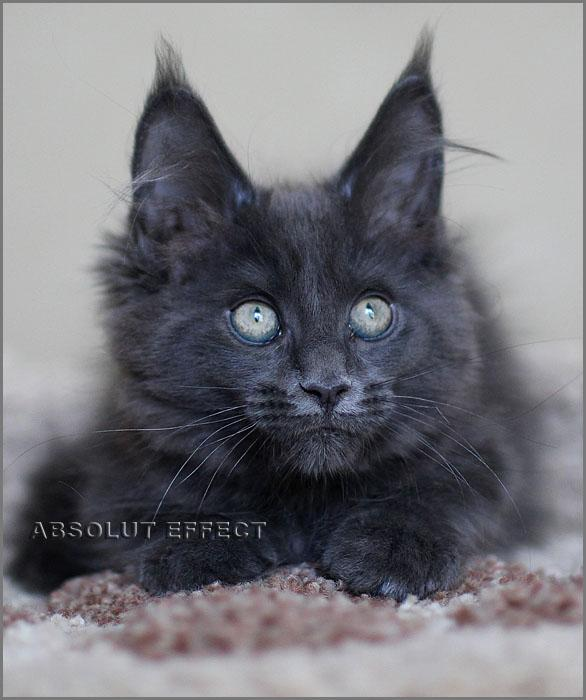 Кошечка Памела_cattery Absolut Effect_ помет P_ Absolut Effect Pamela